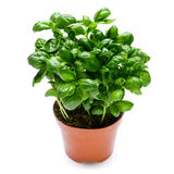 Fresh basil in pot Royalty Free Stock Photography