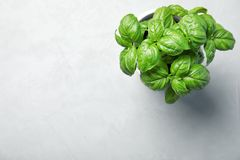 Fresh basil in pot on light background. Top view with space for text royalty free stock photography