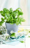 Fresh basil in a pot Stock Images