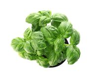Fresh basil in pot on white background. Top view stock photography