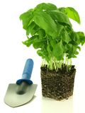 Basil transplantation Stock Photo