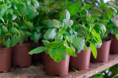 Fresh basil for sale on farmer& x27;s market. Agriculture background. Close-up. Top view. Fresh basil for sale on farmer& x27;s market. Agriculture background Stock Photography