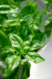 Fresh Basil Spice Stock Photo