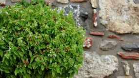 Fresh Basil With Stone Walls. Stone walls with fresh basil leaf organic vegetable. Green aroma basil leaves and flowers royalty free stock images