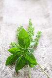 Fresh basil on tablecloth Royalty Free Stock Photos