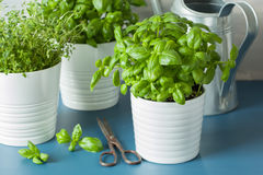Fresh basil thyme herb in a pot Royalty Free Stock Photo