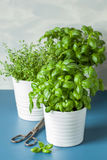 Fresh basil and thyme herbs in pot Stock Image