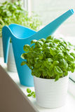 Fresh basil and thyme herbs in a pot on window Royalty Free Stock Images