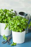 Fresh basil thyme herbs in pots and watering can Royalty Free Stock Images