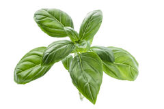 Fresh basil. Fresh top leaves of a basil branch royalty free stock images