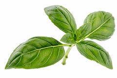 Fresh basil. Fresh top leaves of a basil branch stock photo