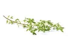 Fresh Basil twig Royalty Free Stock Photo