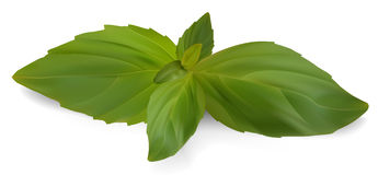 Fresh basil. Vector - Fresh Sweet Basil Stock Photography