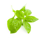 Fresh Basil  on white background Royalty Free Stock Photo