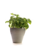 Fresh basil on white Stock Image