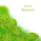 Fresh basilic Royalty Free Stock Photo