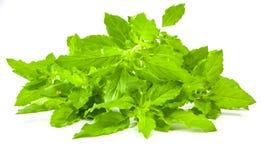 Fresh Basils Stock Image