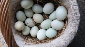 Fresh basket of blue eggs Stock Photo