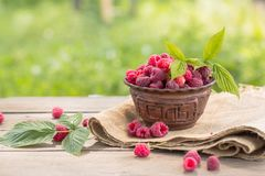 Fresh Basket full of raspberries closeup at raspberry bush with green leaves background. Summer harvest of berries. Basket full of raspberries closeup at stock photos