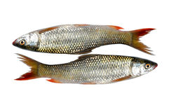 Fresh bass fish Stock Images