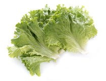 Fresh batavia salad leaves Royalty Free Stock Images
