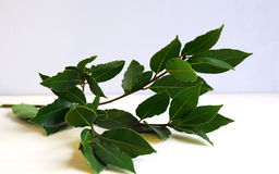 Fresh bay laurel in the kitchen Royalty Free Stock Photography