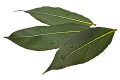 Fresh bay laurel Laurus leaves, paths Royalty Free Stock Images