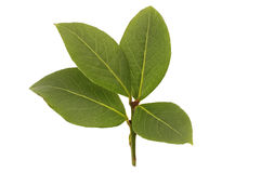 Fresh bay leaf Royalty Free Stock Photography