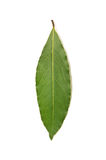 Fresh Bay Leaf isolated on white background Royalty Free Stock Photography