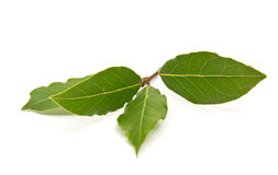 Fresh Bay Leaves branch isolated on white background Royalty Free Stock Photos