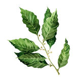 Fresh Bay Leaves branch isolated on white background Stock Image