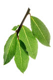 Fresh bay leaves on a branch Stock Photo