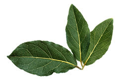 Fresh bay leaves Royalty Free Stock Image
