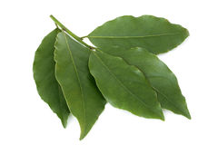 Fresh bay leaves Stock Photography