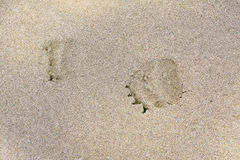 Fresh bear footprints on the Kipchuk River royalty free stock image