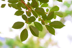 Fresh and beautiful branches, green leaves Royalty Free Stock Photo