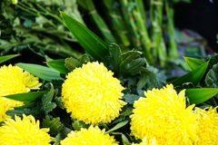 Fresh beautiful bright fluffy yellow blooming Chrysanthemums pompon flower foreground with green leaves background Royalty Free Stock Image