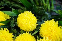 Fresh beautiful bright rounded yellow blooming Chrysanthemums pompon flower foreground with green leaves background Royalty Free Stock Photos