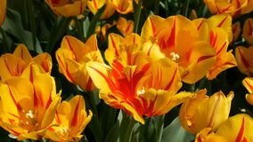 Fresh beautiful large saturated unusual yellow tulips flowers bloom in spring garden. Decorative tulip flower blossom in