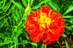 Fresh beautiful marigold Royalty Free Stock Image
