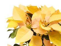 Fresh beautiful poinsettia Stock Photography