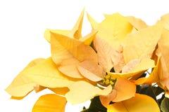 Fresh beautiful poinsettia Stock Image