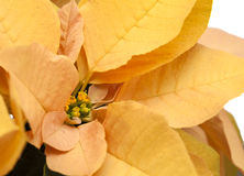 Fresh beautiful poinsettia Royalty Free Stock Image