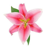 Fresh beautiful red lily flower blossom Royalty Free Stock Images