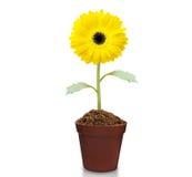Fresh beautiful sunflowers in  pot Royalty Free Stock Photos