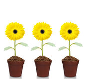 Fresh beautiful sunflowers in  pot Royalty Free Stock Images