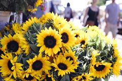 Fresh Beautiful Sunflowers at a Stand royalty free stock images