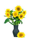Fresh beautiful sunflowers in vase isolated on a white background. Fresh beautiful sunflowers in old black vase isolated on a white background Royalty Free Stock Images