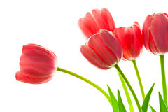Fresh Beautiful Tulips bouquet against white background Royalty Free Stock Photography