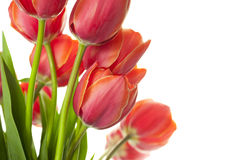 Fresh Beautiful Tulips / isolated on white Stock Photography